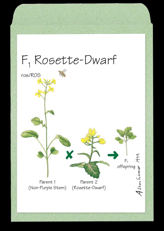 f1rosette-dwarf