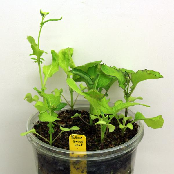 yellowgreenleaf4