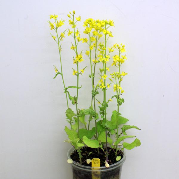 yellowgreenleaf6