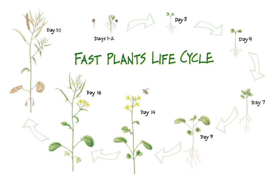 Life cycle of Wisconsin Fast Plants