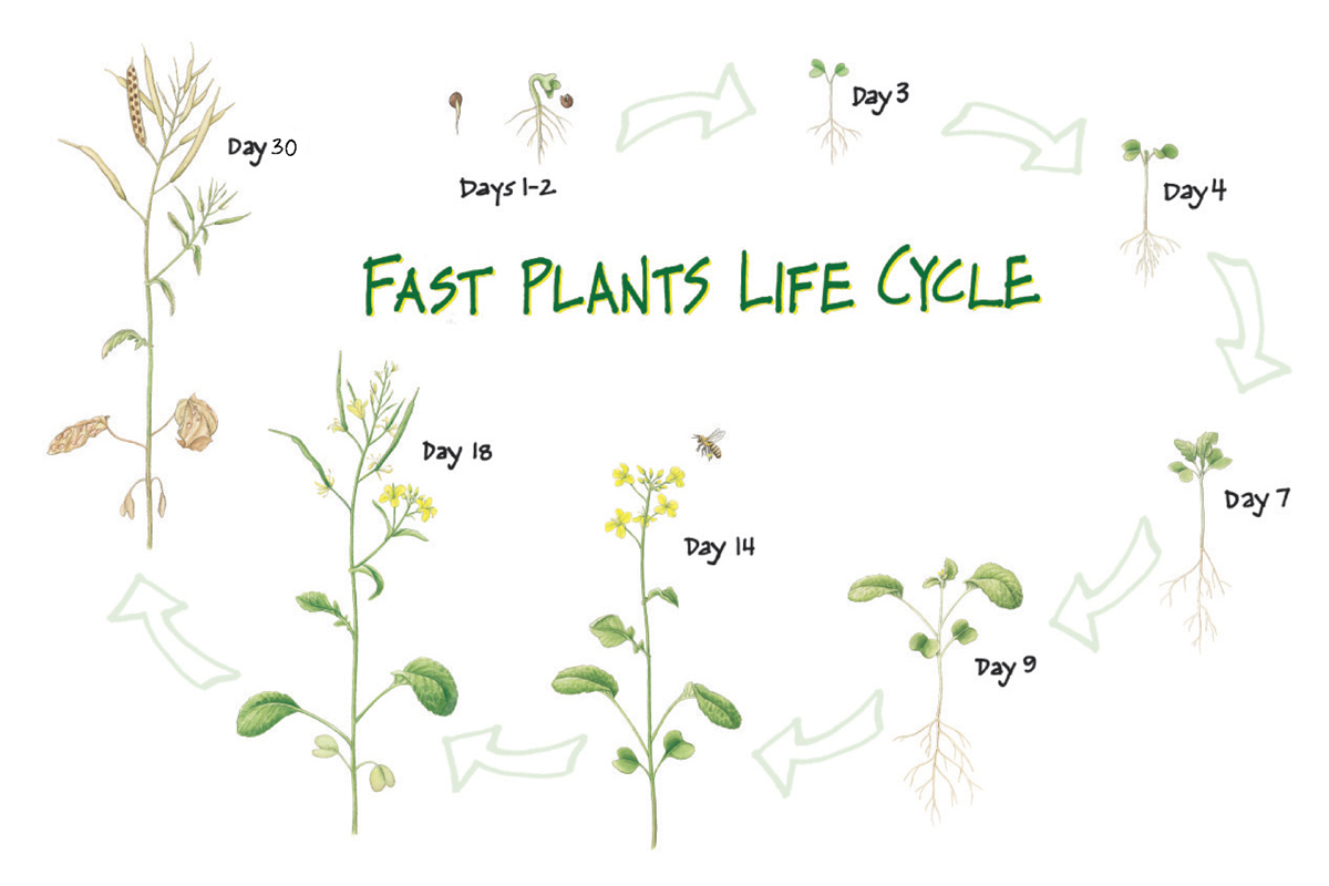 fast plants Claim-evidence-reasoning example: fast plants claim evidence reasoning  plants need light energy to produce healthy leaves fast plants growing in.