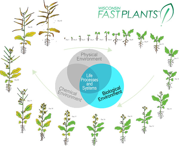 Wisconsin Fast Plants and biological environment factors that influence growth & development