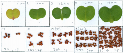 Cotyledon size and seed yield are dependent upon the chemical fertilizer environment.