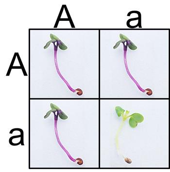 Punnet-PCR-Fast-Plants