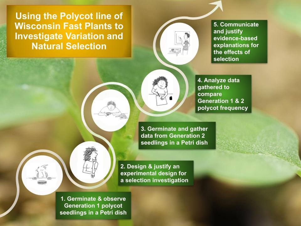 Polycot Wisconsin Fast Plants Selection Investigation overview