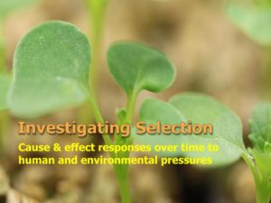 Polycots for selection experiments with Wisconsin Fast Plants