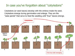 What are cotyledons?
