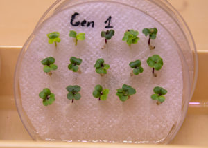 Generation 1 Polycots seedlings germinated on paper towel