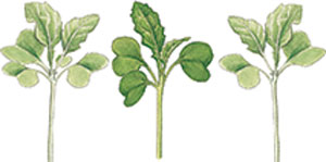 Polycot seedling illustrations